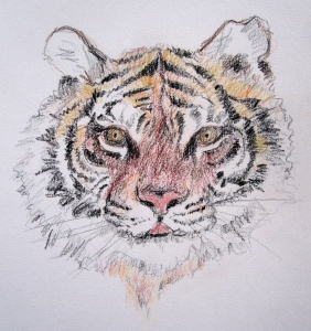 tiger colored pencil s