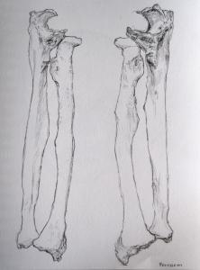 forearm s