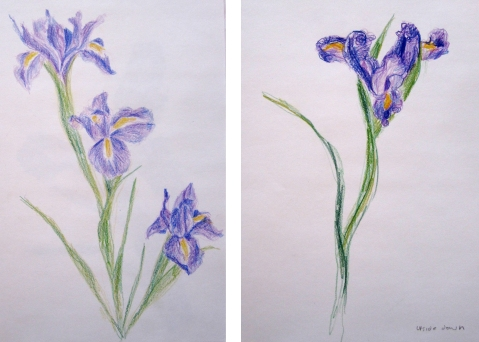 iris colored pencil comp