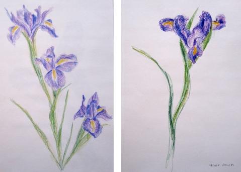 iris colored pencil comp