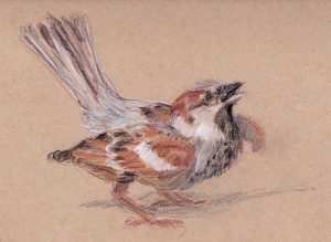 house sparrow drawing 1s