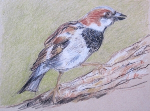 house sparrow drawing 2 photo s