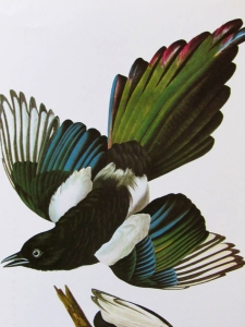 black billed magpie audubon s