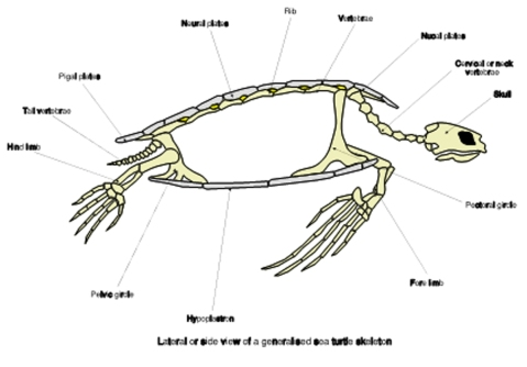 sea turtle skeleton s