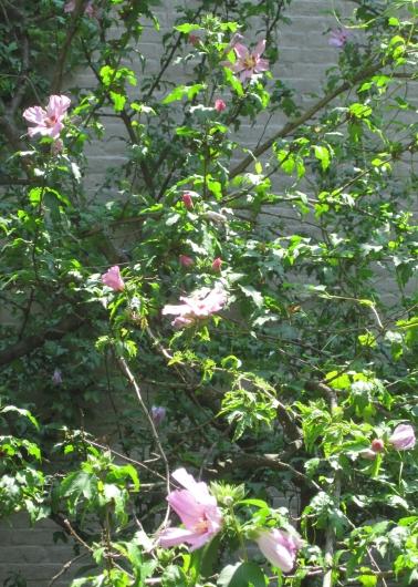 rose of sharon 2s