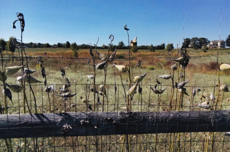 milkweed s
