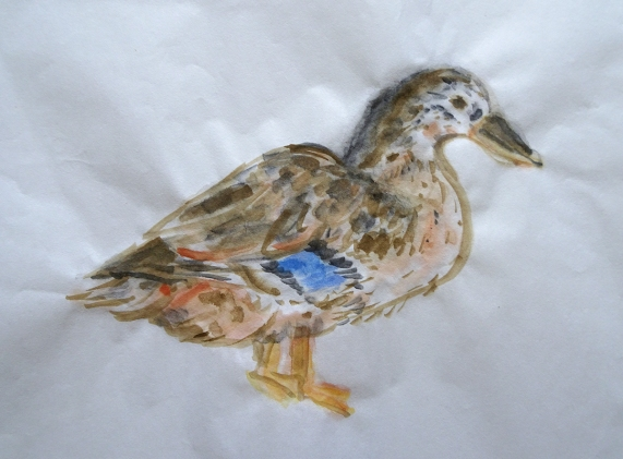 mallard f watercolor s